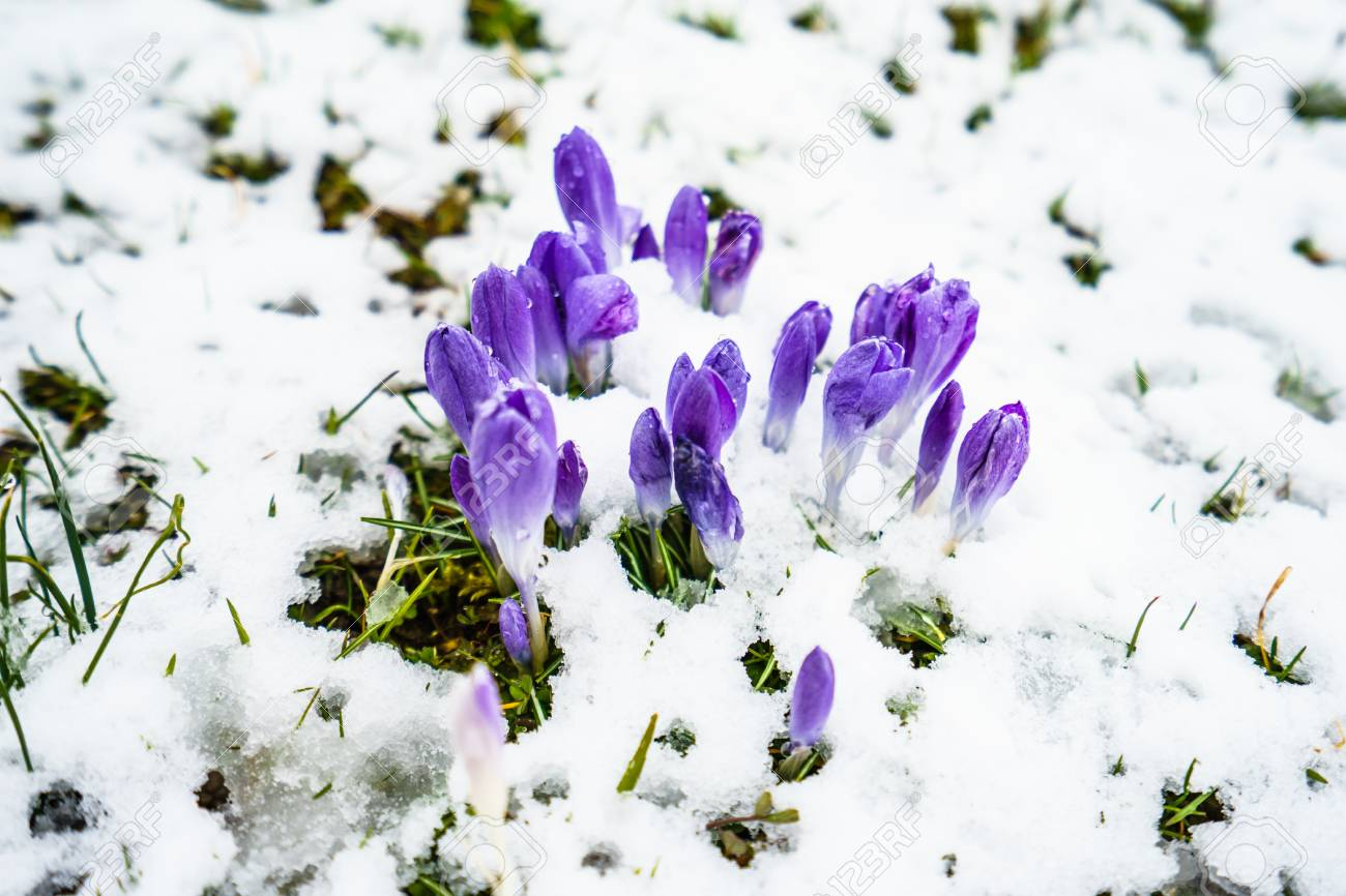 Firts Spring Flowers Growing Under Snow Stock Photo Picture And