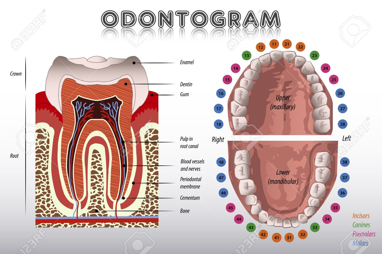 Odontogram tooth diagram royalty free cliparts vectors and tooth diagram stock vector 40925394 ccuart Images