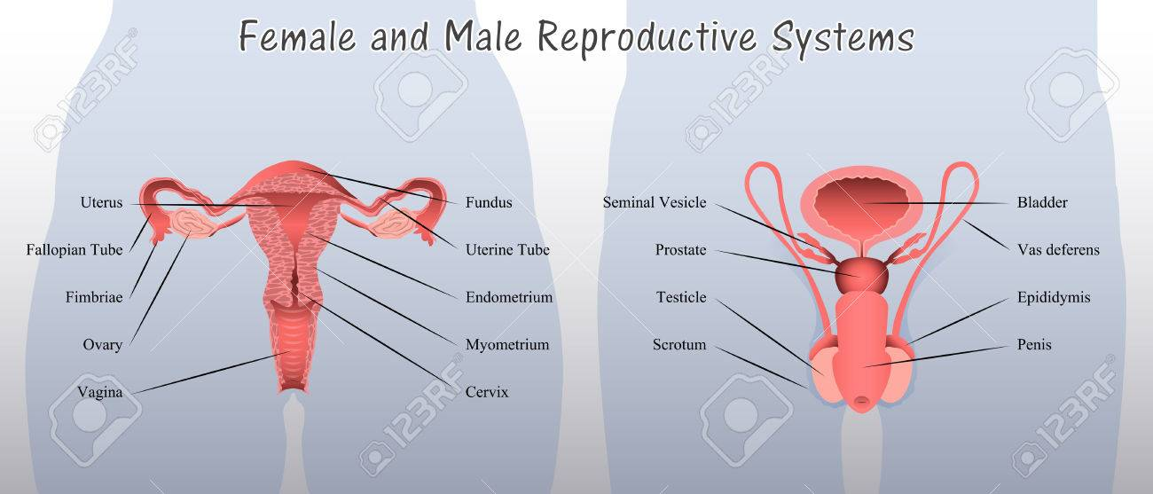 Male and female reproductive anatomy image collections human body female and male reproductive systems diagram royalty free cliparts ccuart Gallery