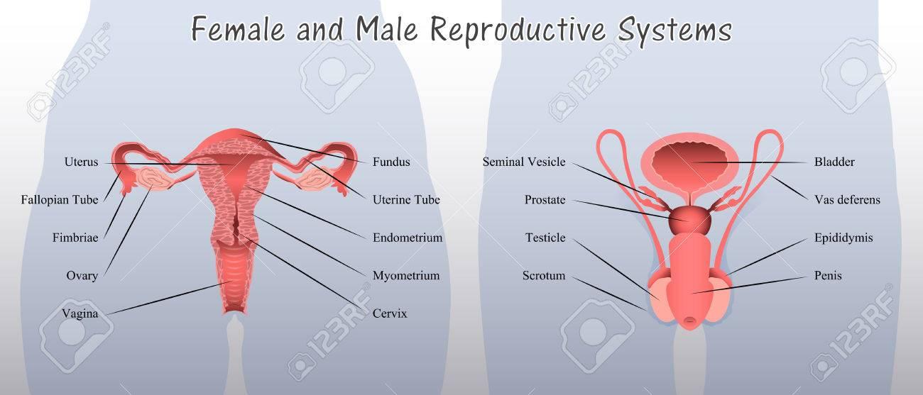 Weibliche Und Männliche Fortpflanzungssystem Diagram Lizenzfrei ...