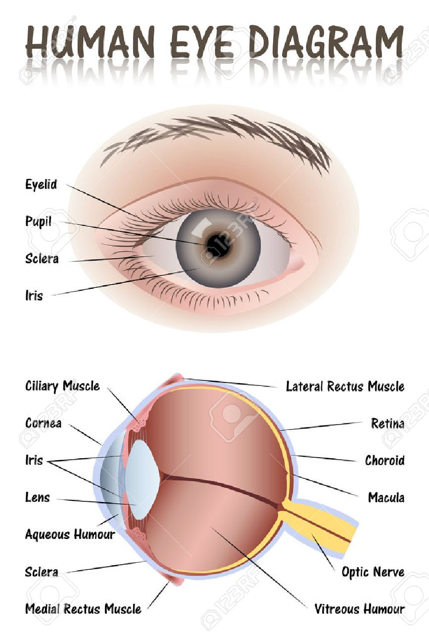 The Outer Eye Diagram Of Eyelids - Circuit Connection Diagram •