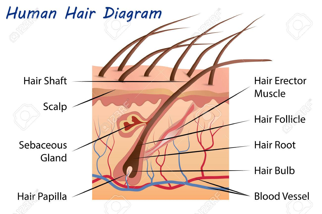 human hair diagram stock vector - 50801367