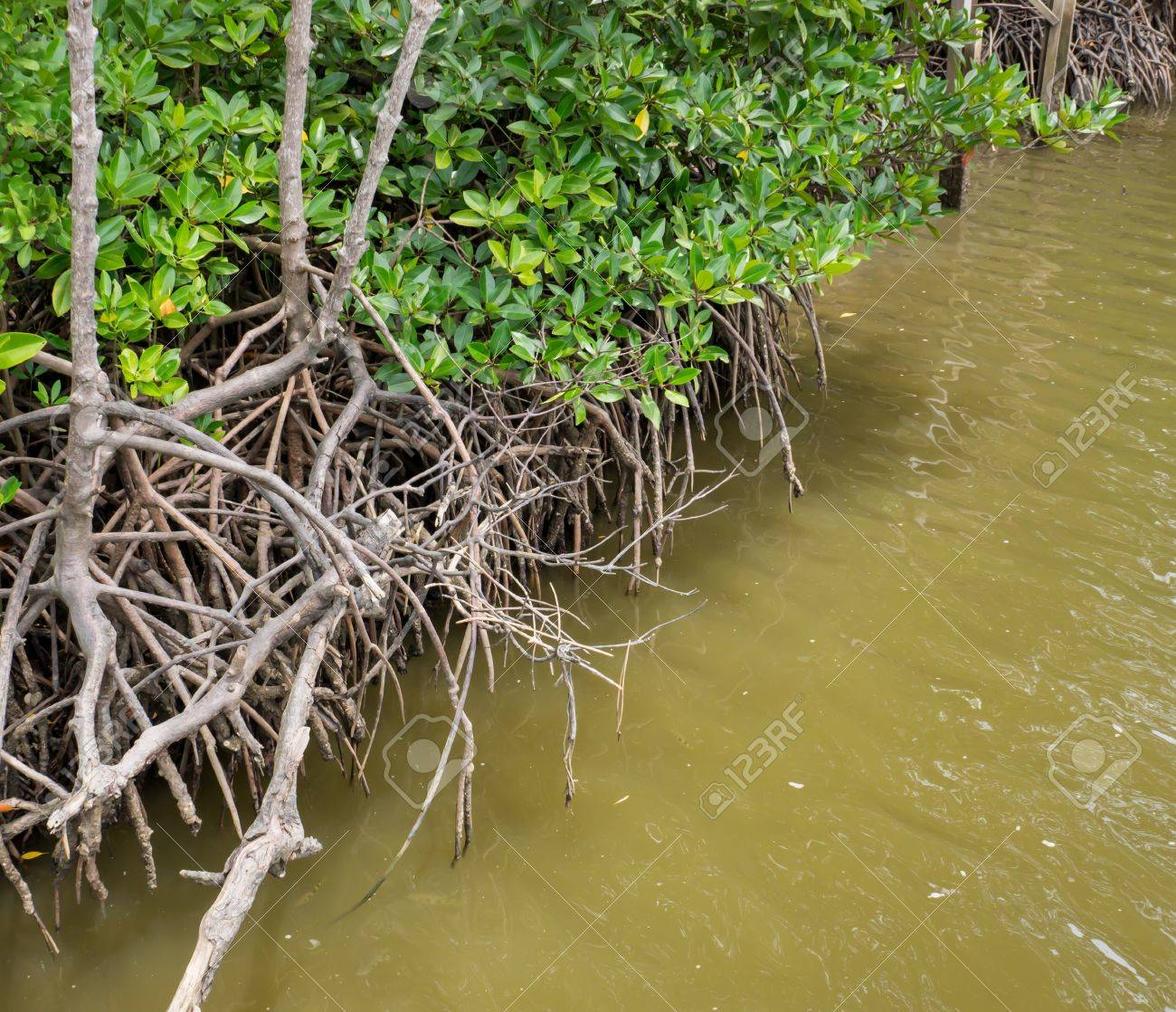 the mangrove root in water is the food source of aquatic animals
