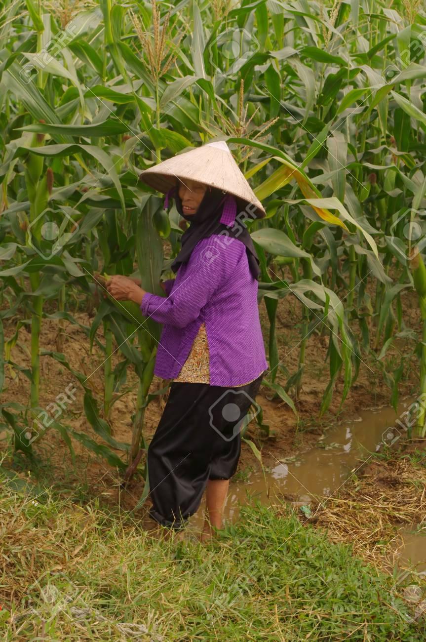 grand-mère de Kinh (Viêt) dans ses champs de maïs. - 10868906