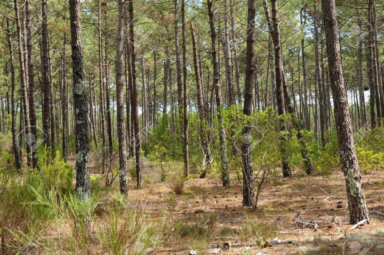 France, maritime pines in La foret des Landes Stock Photo - 13268767