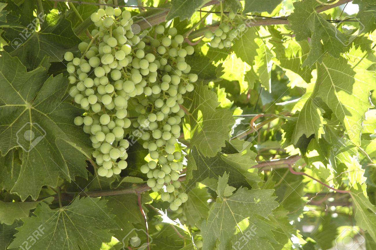 bunch, grapes, green Stock Photo - 9584634