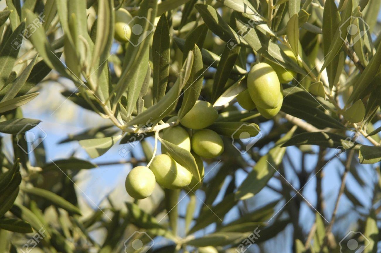 aceitunas verdes en un olivo en Jaén Foto de archivo - 10501853