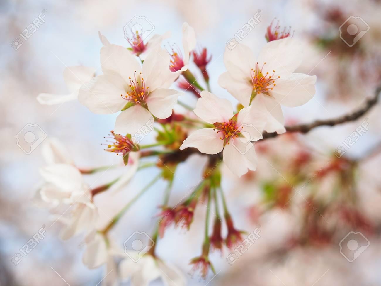 Japan Sakura Flower Or Cherry Blossom Full Bloom In Spring Season