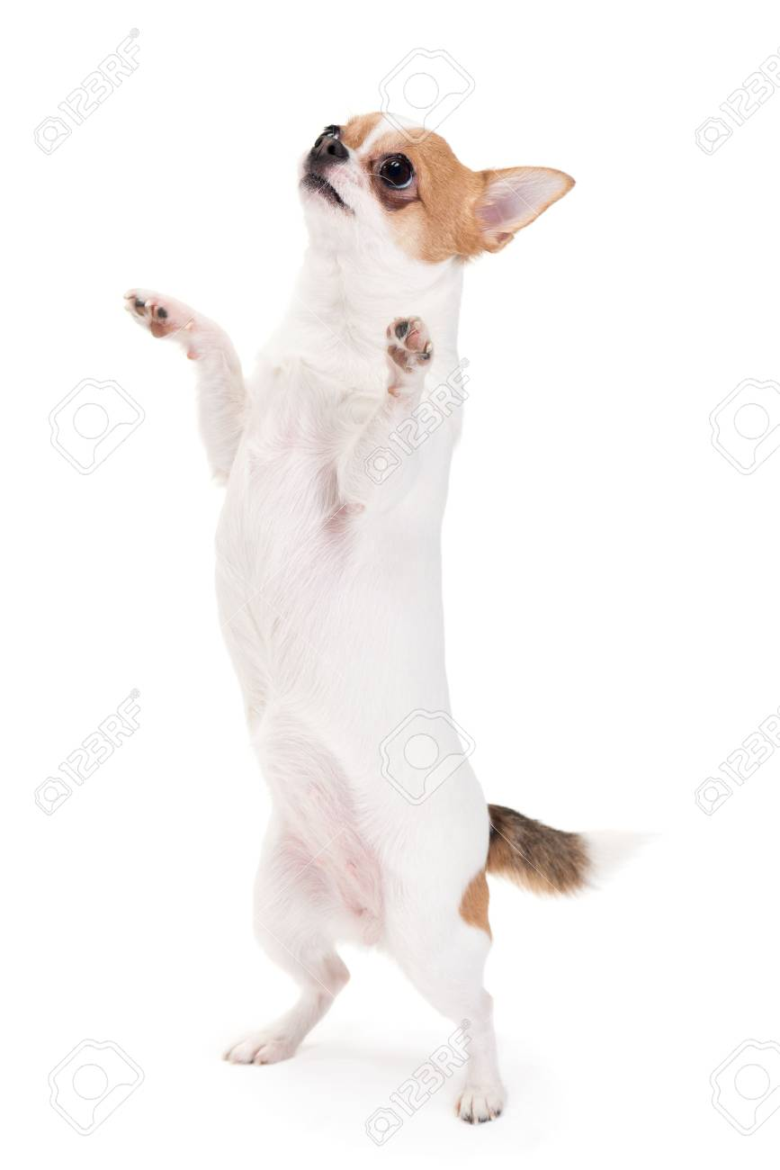 Playful Chihuahua standing upright looking up isolated on white Stock Photo - 24457587