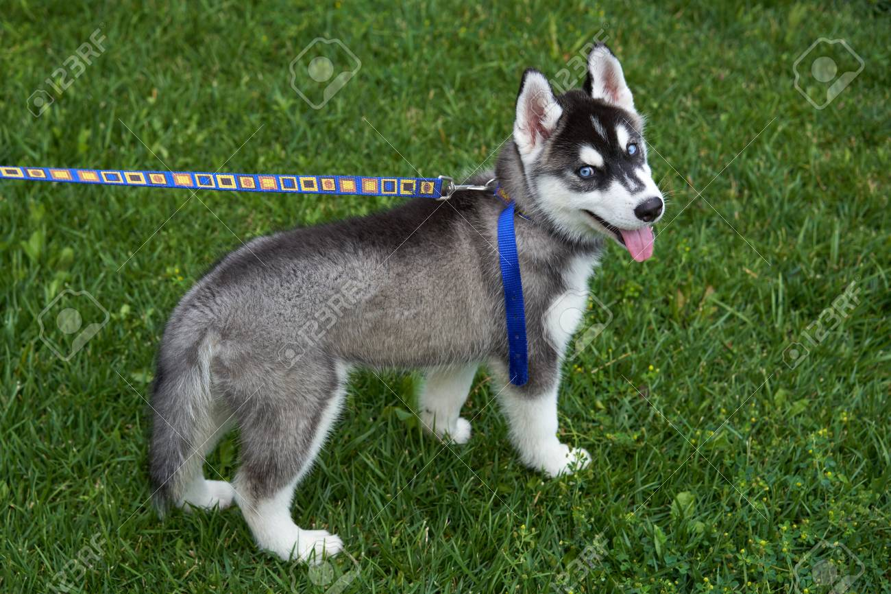 Puppy Siberian Husky Black And White With Blue Eyes Outdoors Stock Photo Picture And Royalty Free Image Image 104921481