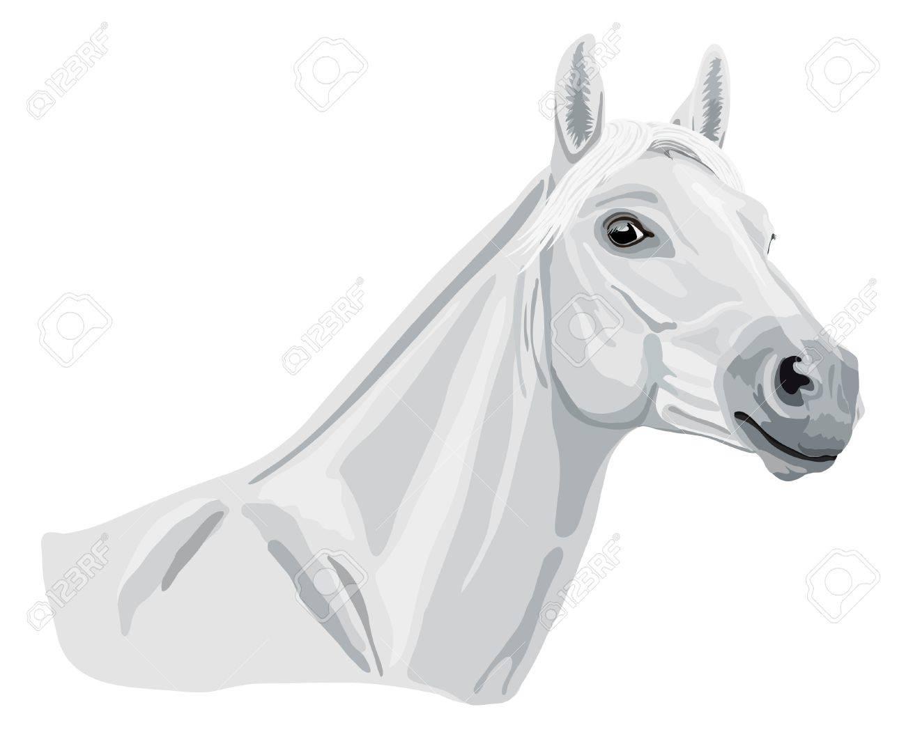 white arabian horse head Stock Vector - 17400978