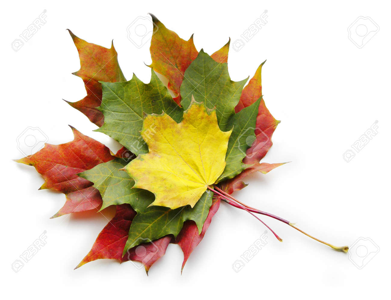 three red yellow green maple leaves on white Stock Photo - 266934