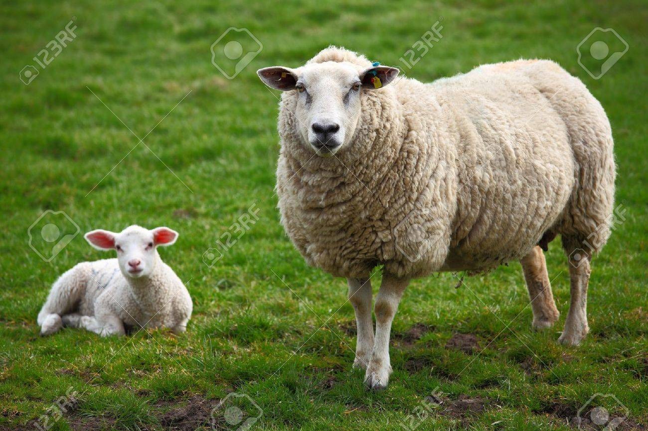 A sheep and a lamb Standard-Bild - 9419135