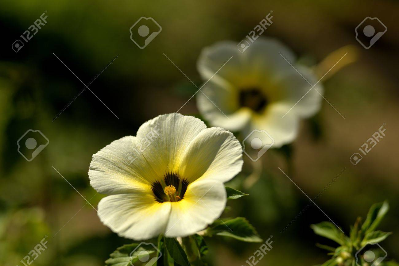 The Beautiful Sage Rose Flowers With Sunshine Stock Photo Picture