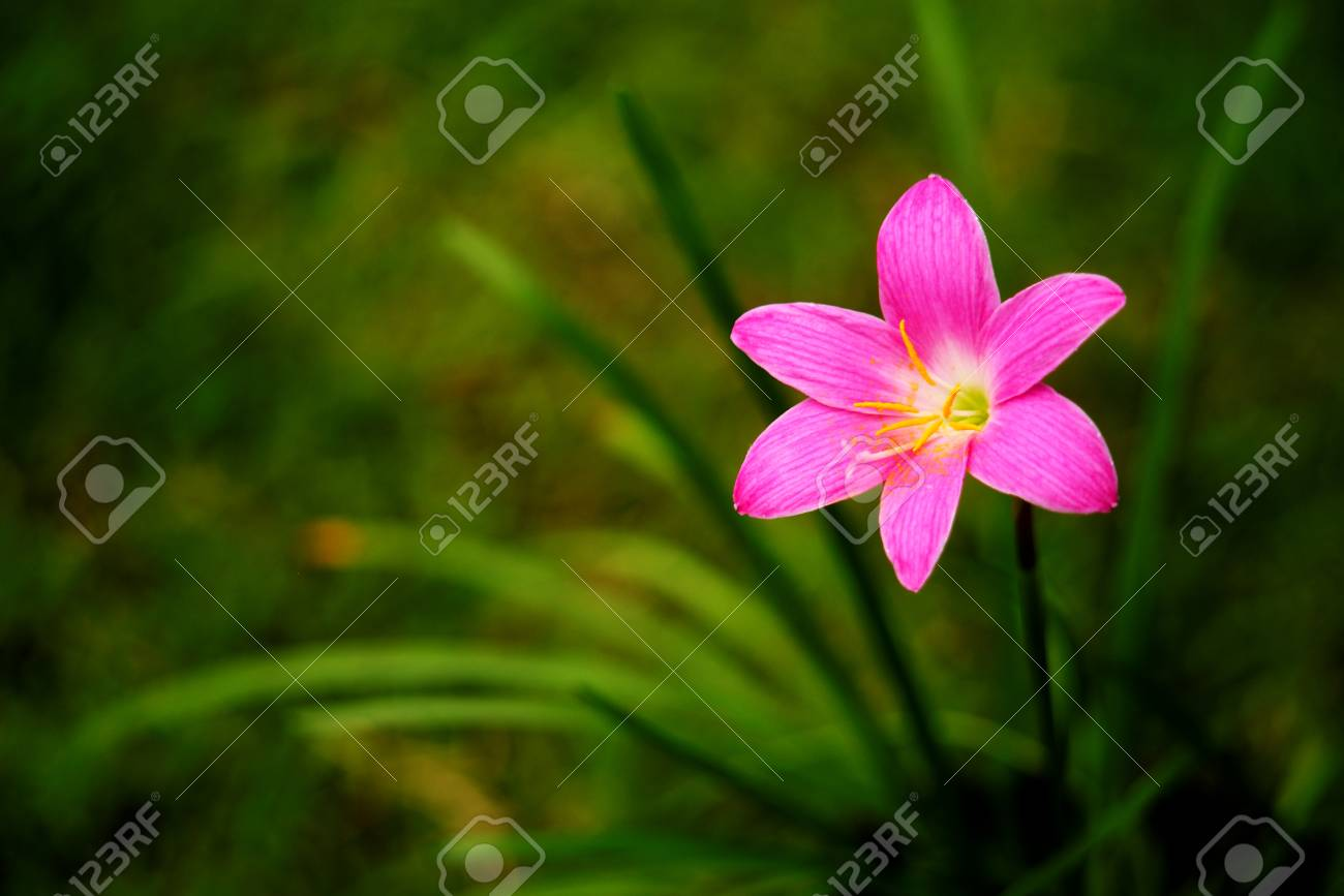 Beautiful Rain Lily Flower Stock Photo Picture And Royalty Free