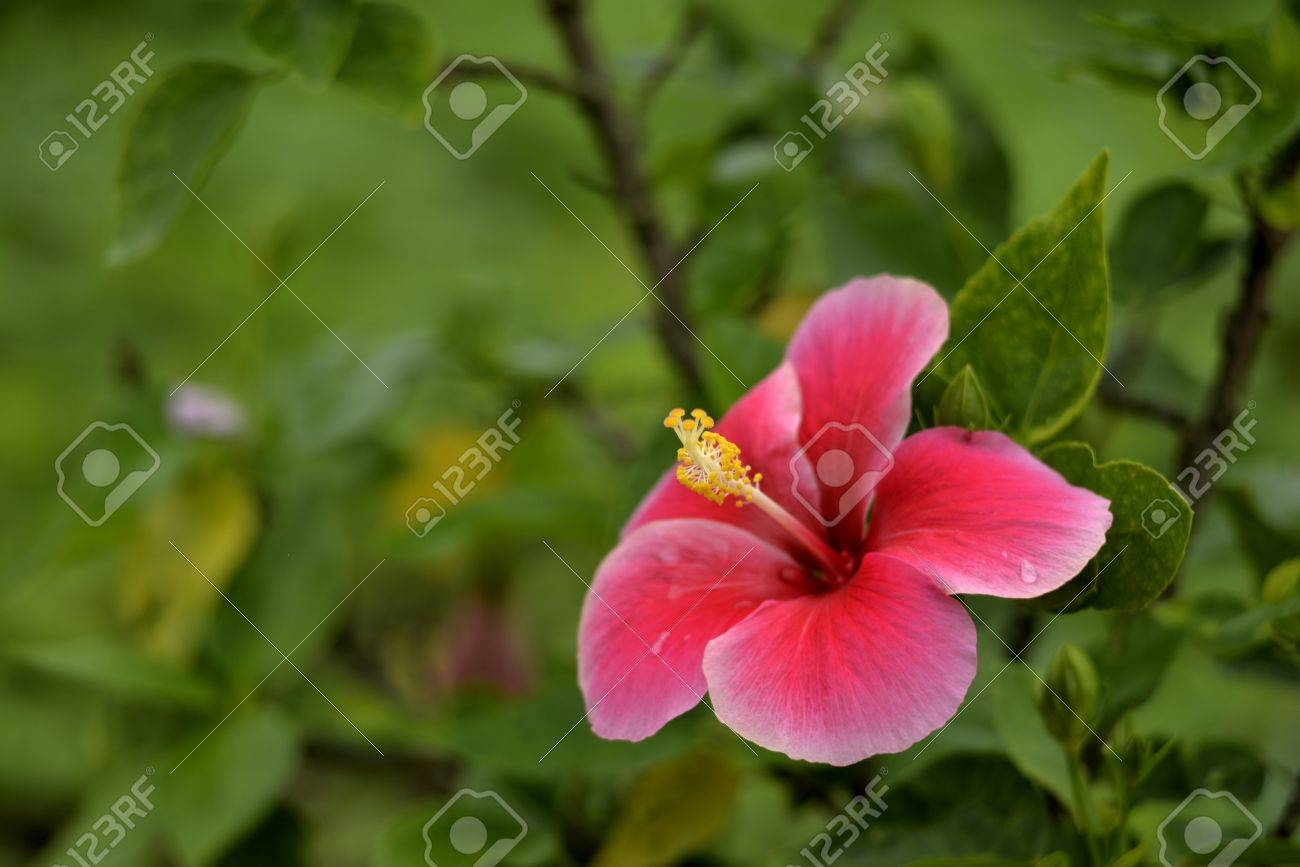 Beautiful red pink china rose flower in rainy season stock photo beautiful red pink china rose flower in rainy season stock photo 43767847 dhlflorist Image collections