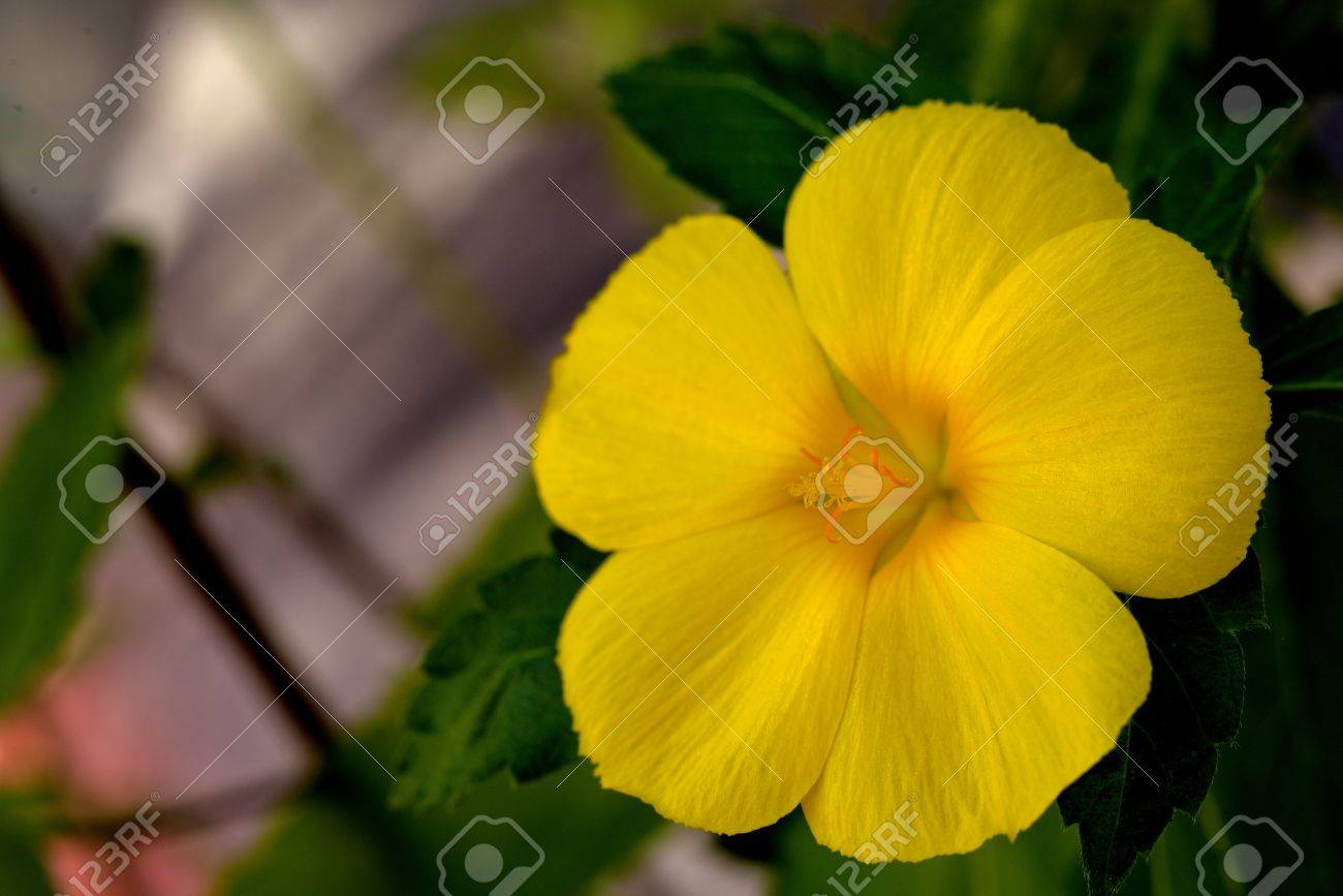 Close Up Of Yellow Sage Rose Flower Stock Photo Picture And Royalty