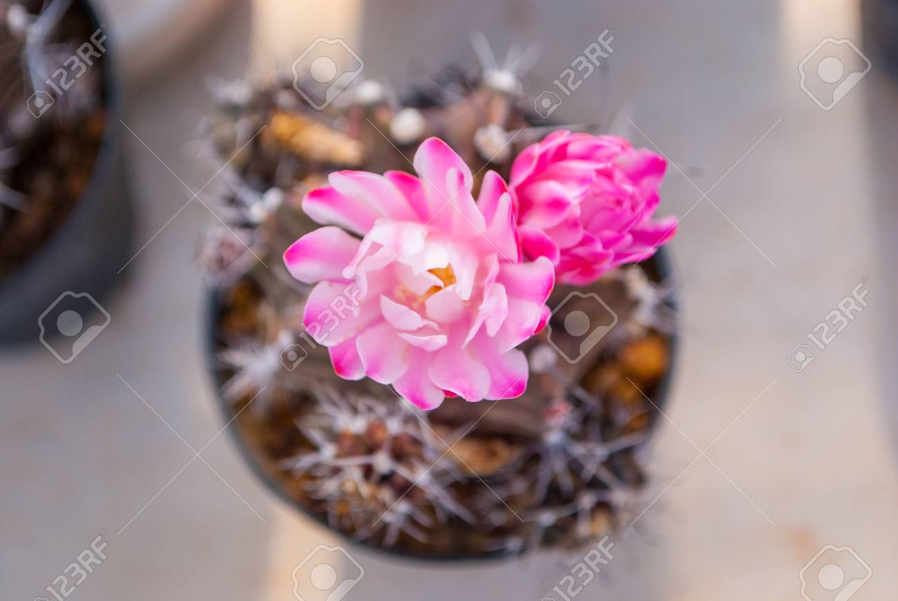 Top view of small cactus with pink flowering cactus selective stock photo top view of small cactus with pink flowering cactus selective focus in flowerpot houseplant at the farm mightylinksfo