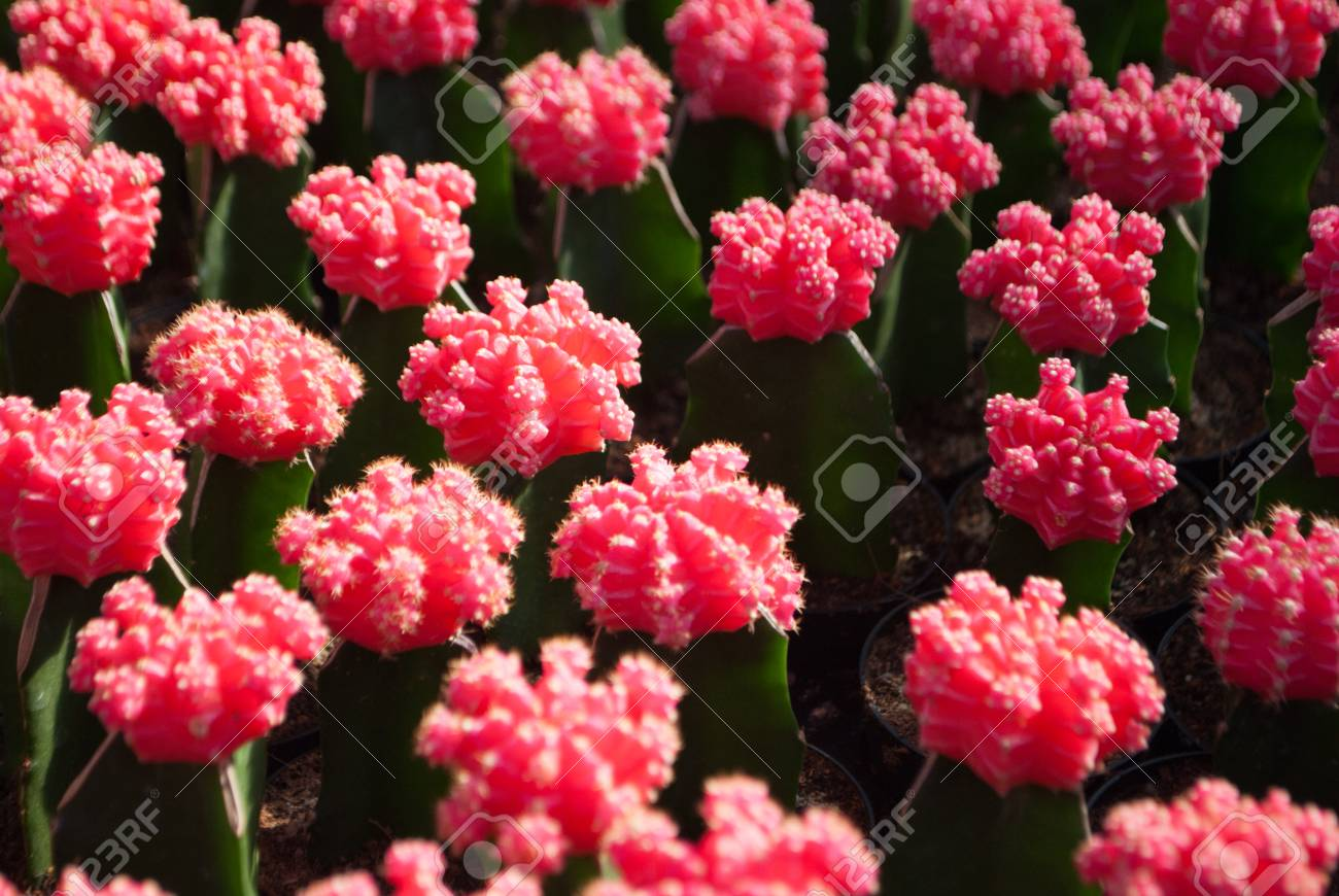 Small pink cactus selective focus in flowerpot houseplant at stock small pink cactus selective focus in flowerpot houseplant at the farm stock photo 63104468 mightylinksfo