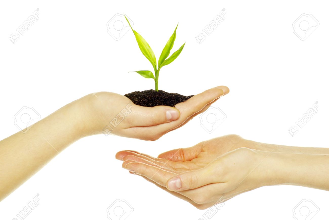 Hands holding sapling in soil  on white Stock Photo - 8996920