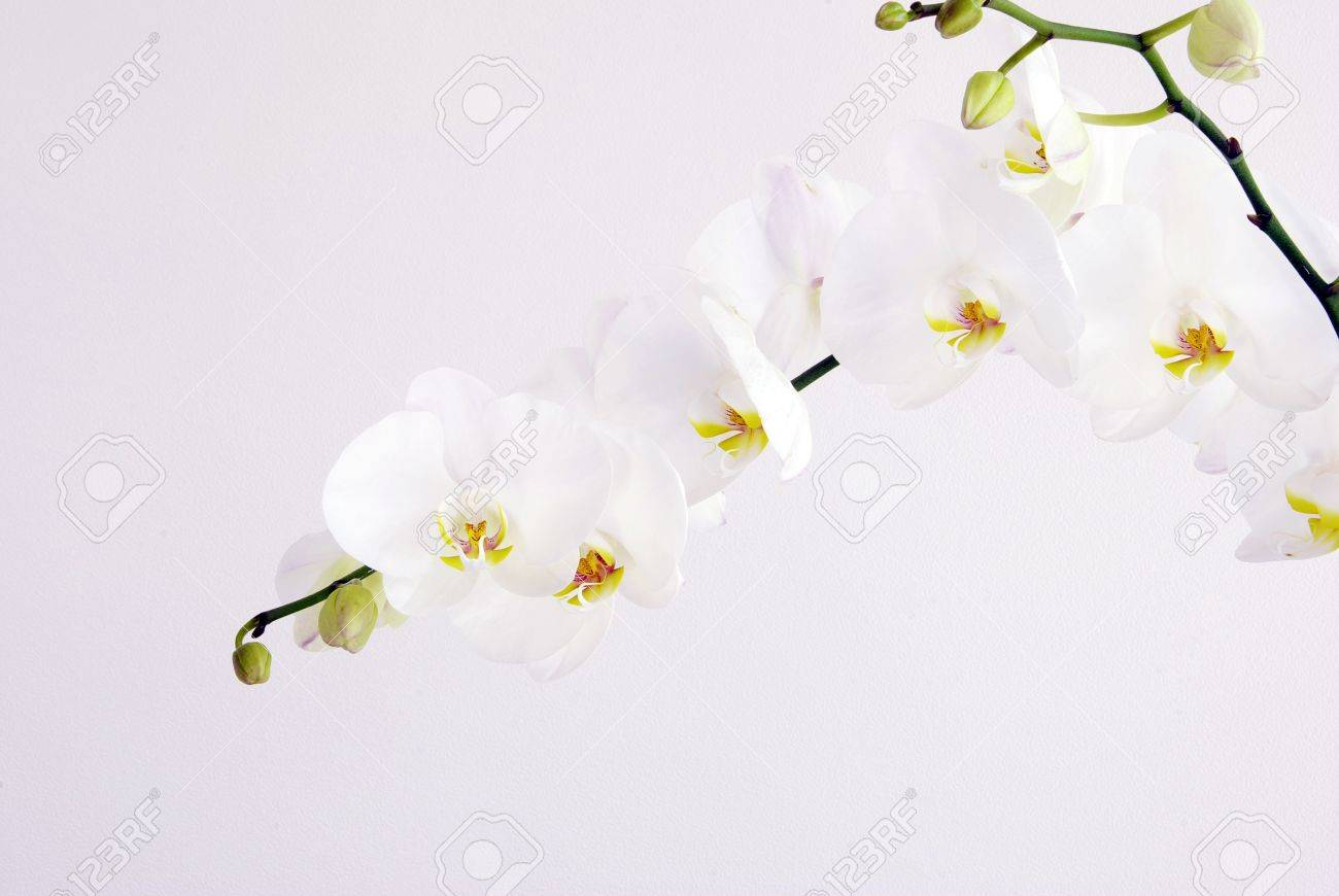 Blooming White Orchids Flower Isolated On White Background Stock