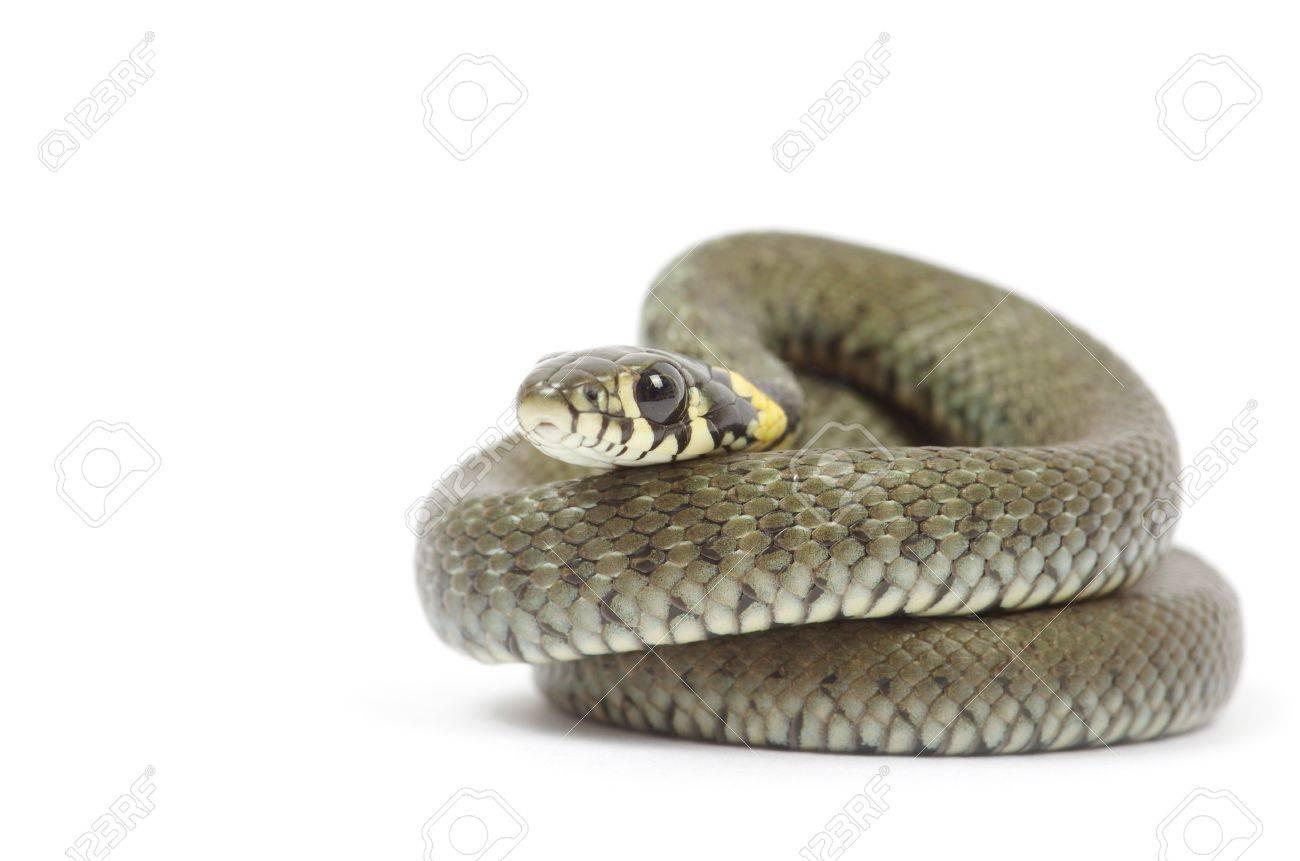 snake isolated on white background Stock Photo - 9688151