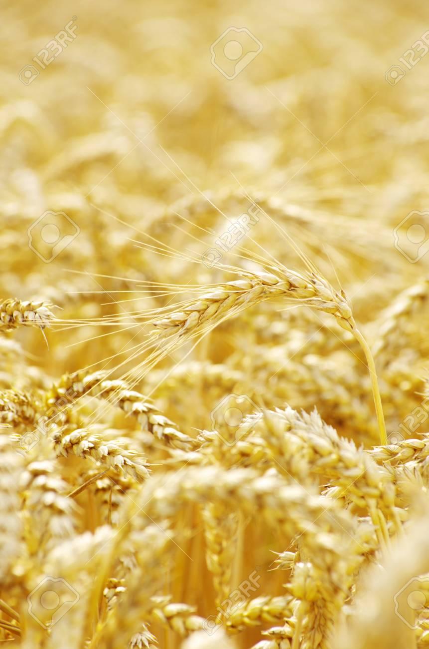 golden wheat field in summer Stock Photo - 10471426