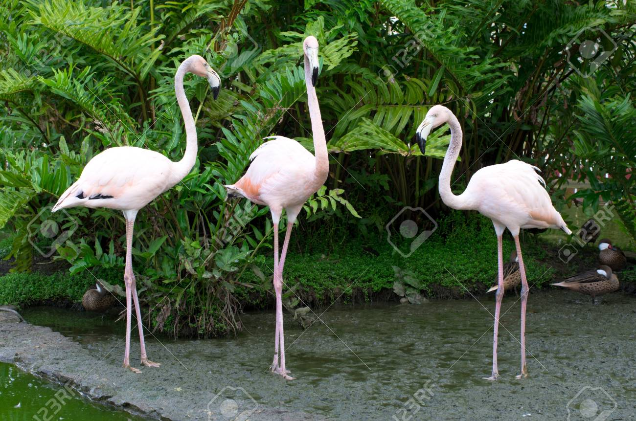 Image of  flamingos in the water Stock Photo - 18439456