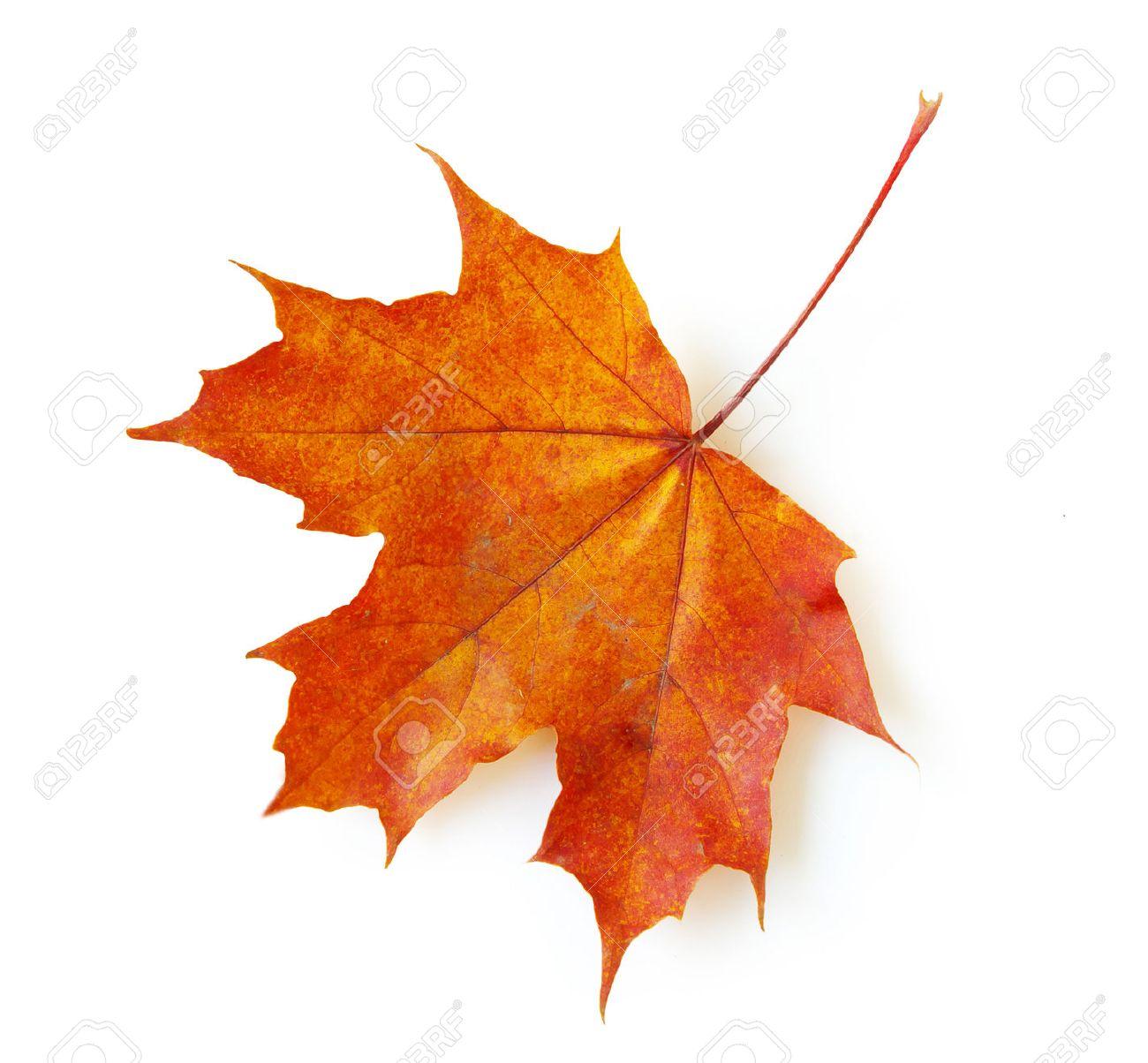 autumn maple leaf isolated on white background Stock Photo - 31831996