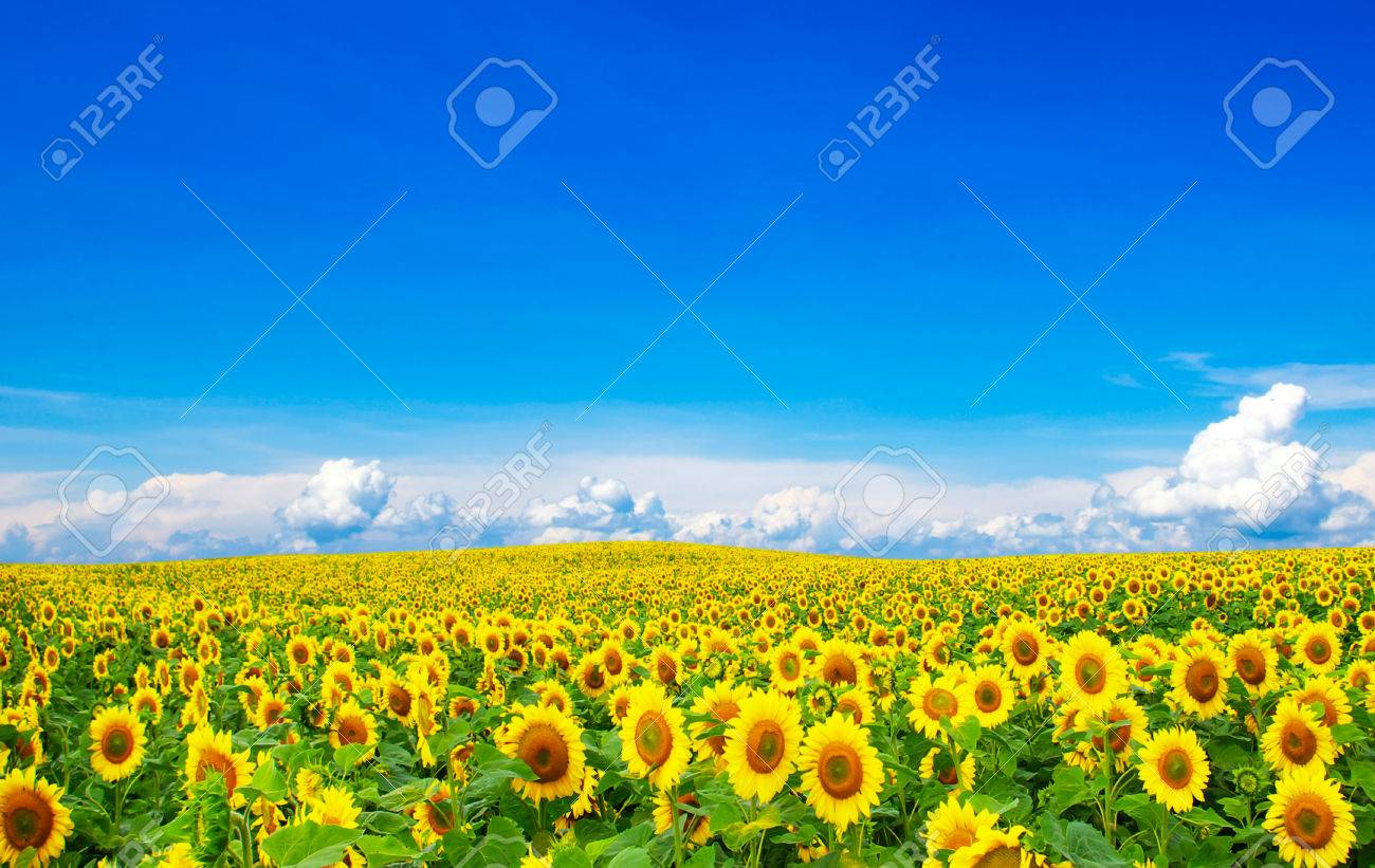 Blooming field of sunflowers on blue sky Stock Photo - 37236658