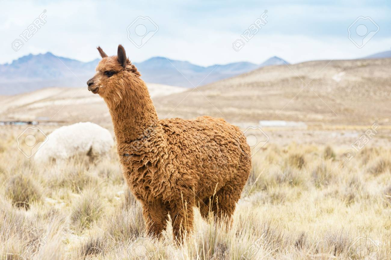 lamas in Andes,Mountains, Peru - 49815058
