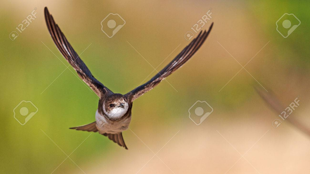 flying bird, portrait, swallow , rare moment,wonderful bird - 53618898