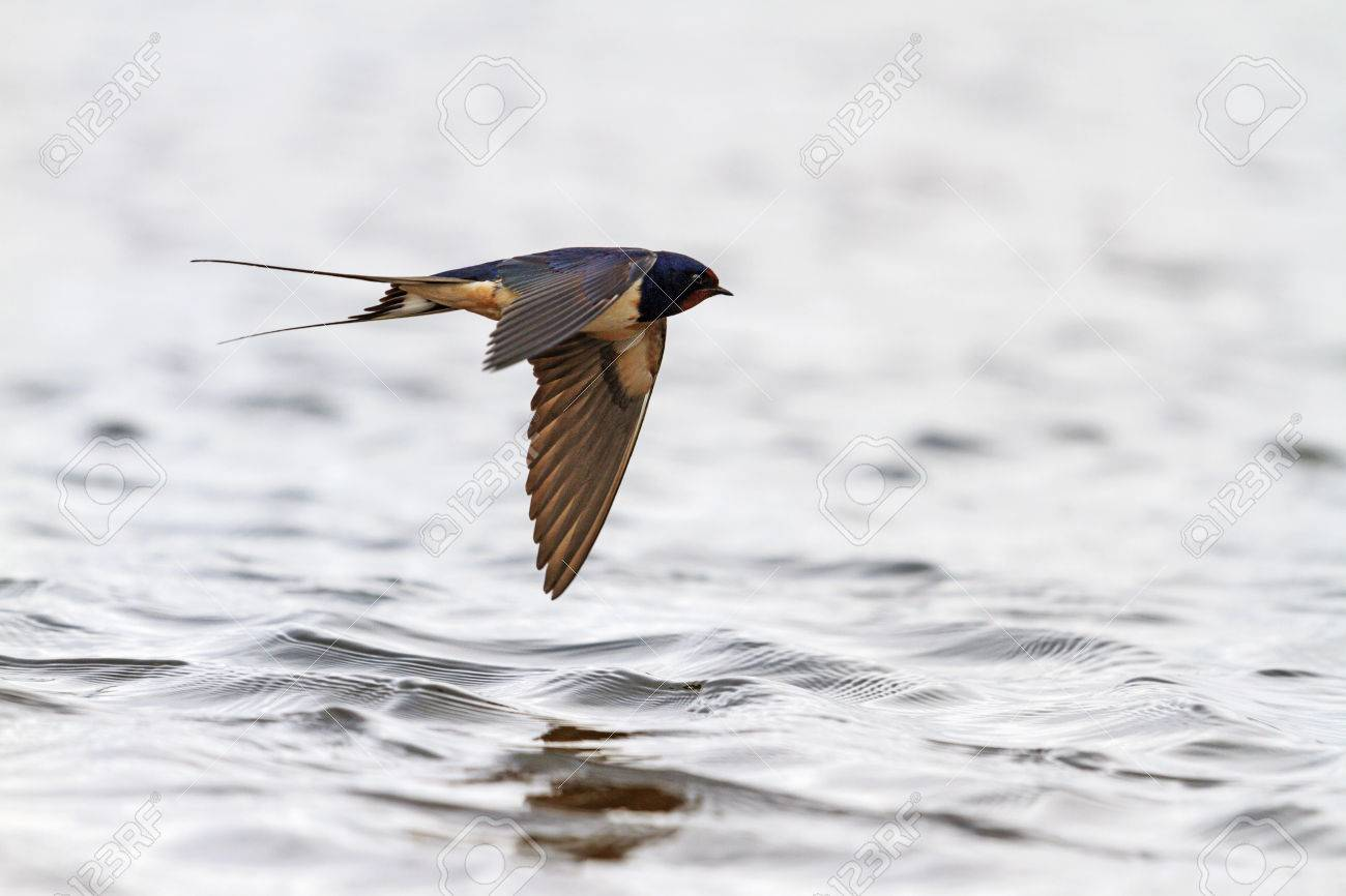 Swallow with open wings in flight over the water, the spring migration of birds, Action - 53619637