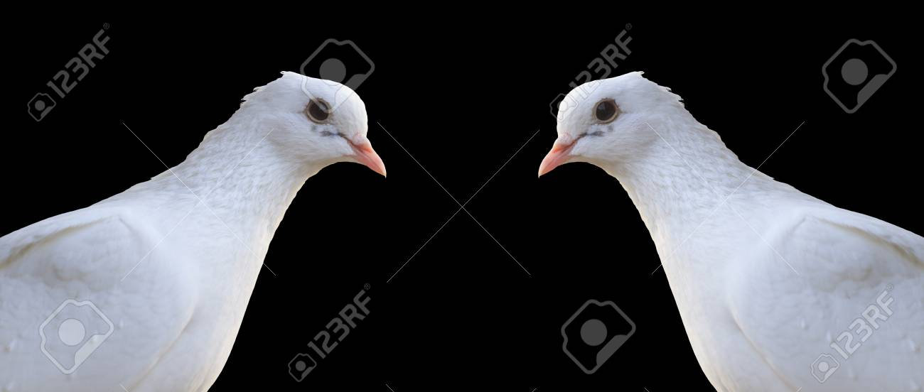 White Homing Pigeon Portrait Isolated On Blacka Bird Symbol Stock