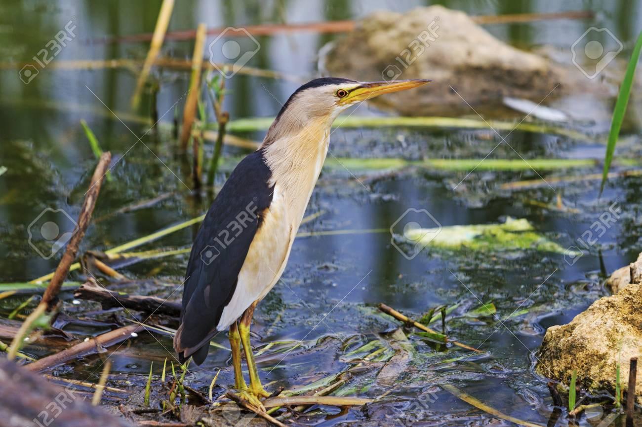 Archivio Fotografico   Tarabusino Nel Parco Della Città, Gli Animali  Selvatici In Città, Uccello Acquatico, Un Uccello Sul Lago