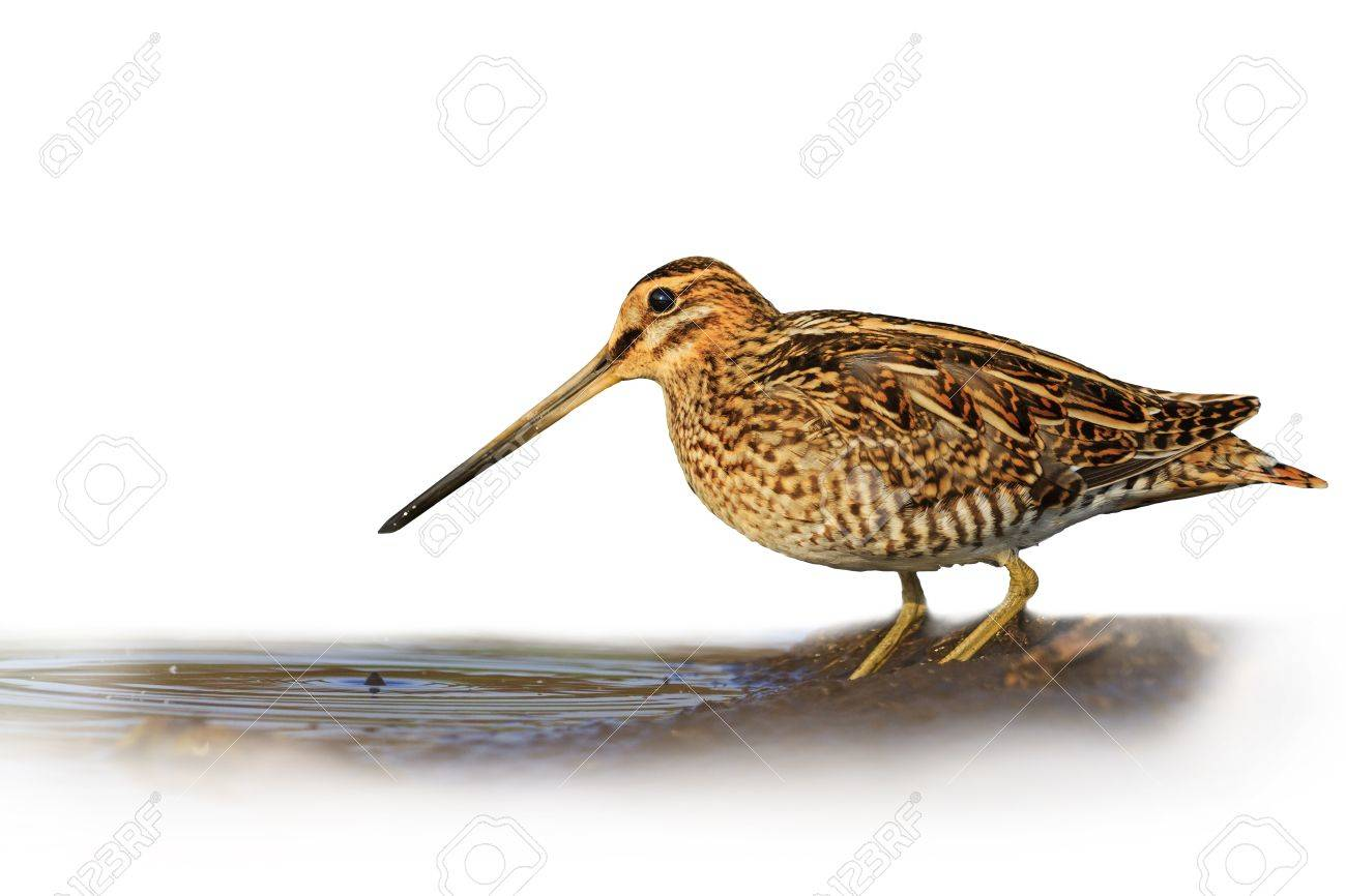 Snipe isolated on a white background blurred,Snipe isolated, hunting trophy, material for designers - 56555292