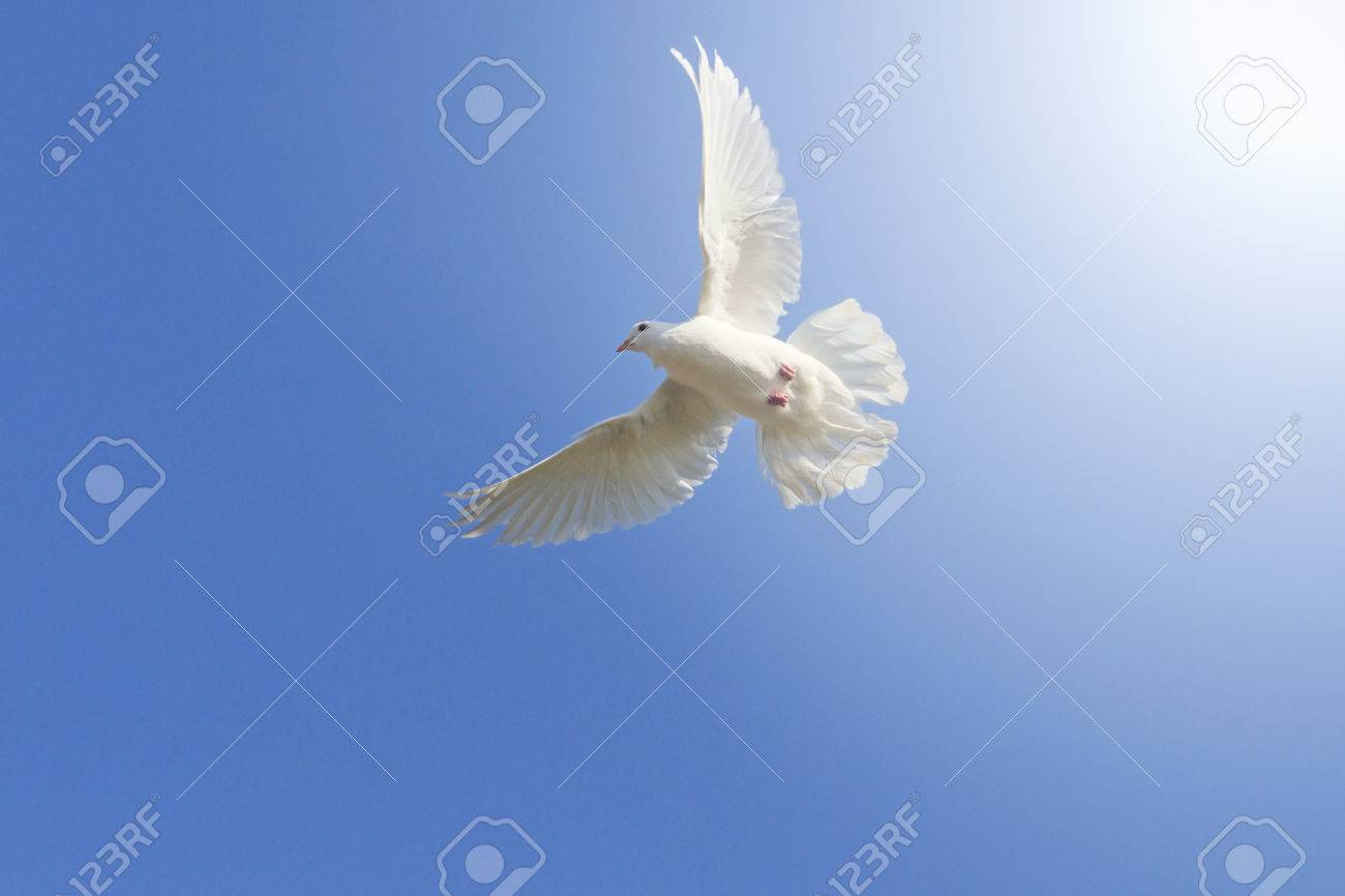 White Homing Pigeon Among The Blue Sky A Symbol Of Peace Sunlight