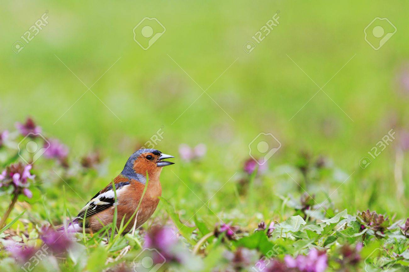 Bird Of Bright Spring Flowers Finch Among The Spring Flowers