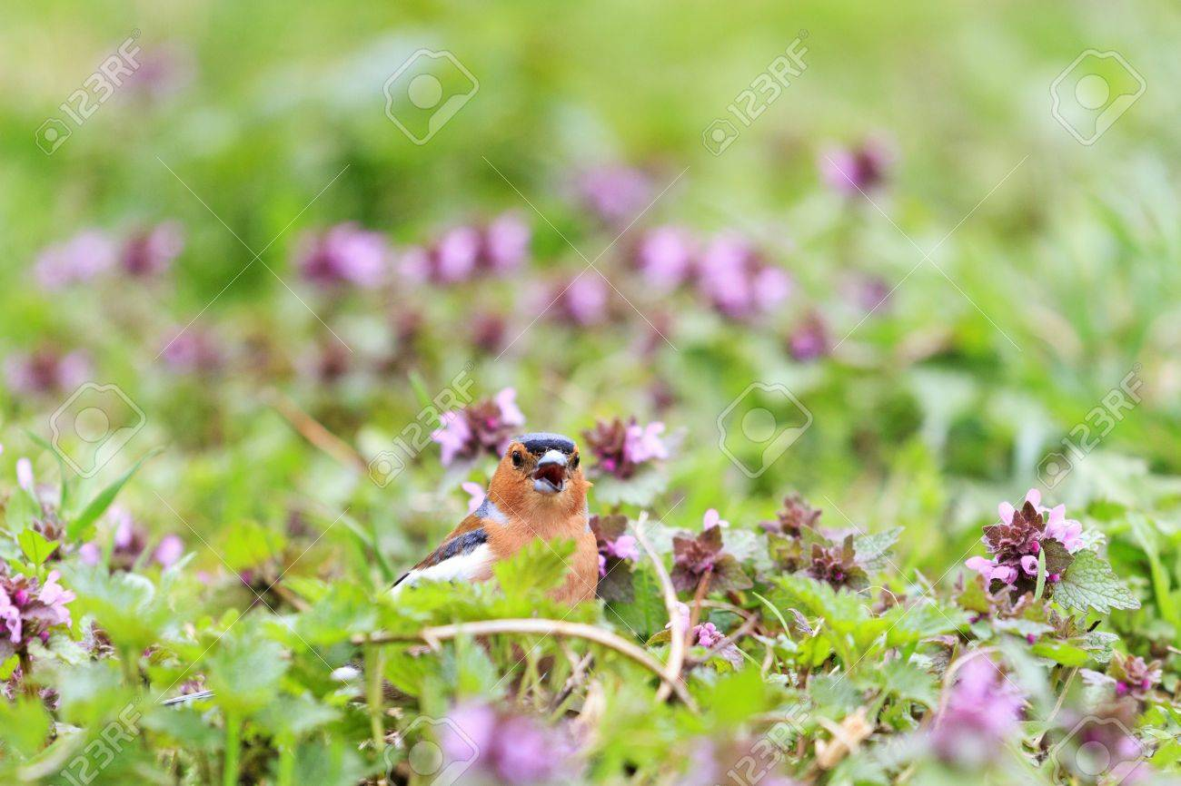 Chaffinch singing the song of pink flowerssinging birds spring chaffinch singing the song of pink flowerssinging birds spring singing beautiful picture mightylinksfo