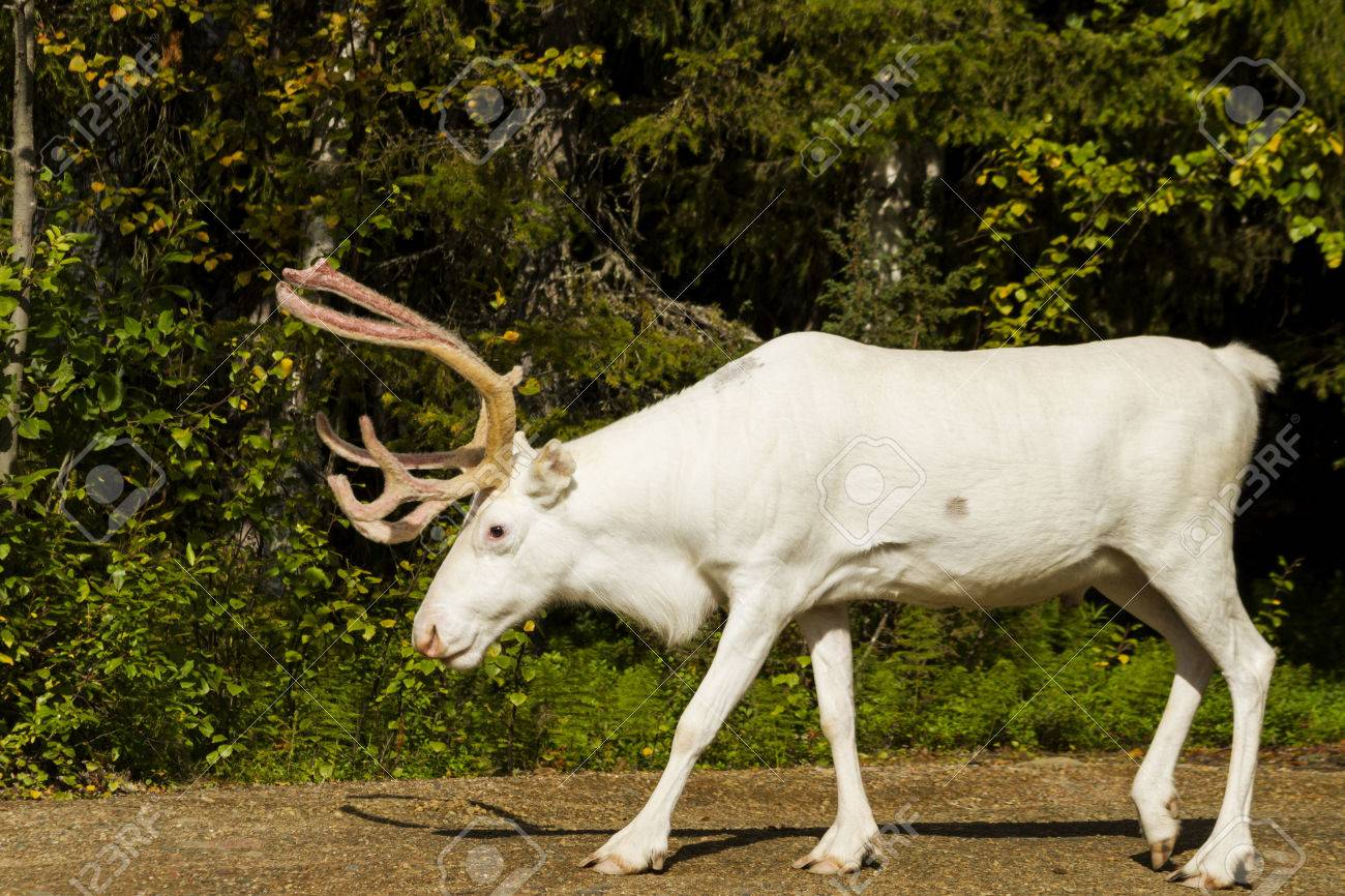 Weisses Hirsch Ist Auf Dem Weg Seltenes Tier Ein Tier Mit Hornern