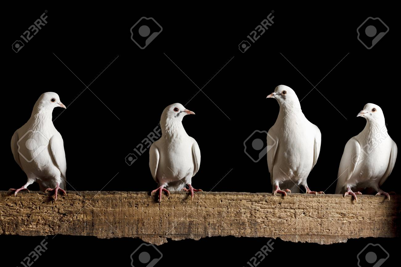 Four White Dove Sitting On The Chalkboard Isolated On Blackpostal