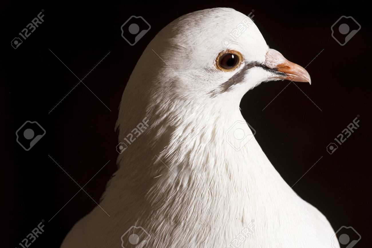 Portrait White Pigeon On A Black Backgroundpostal Dove Symbol