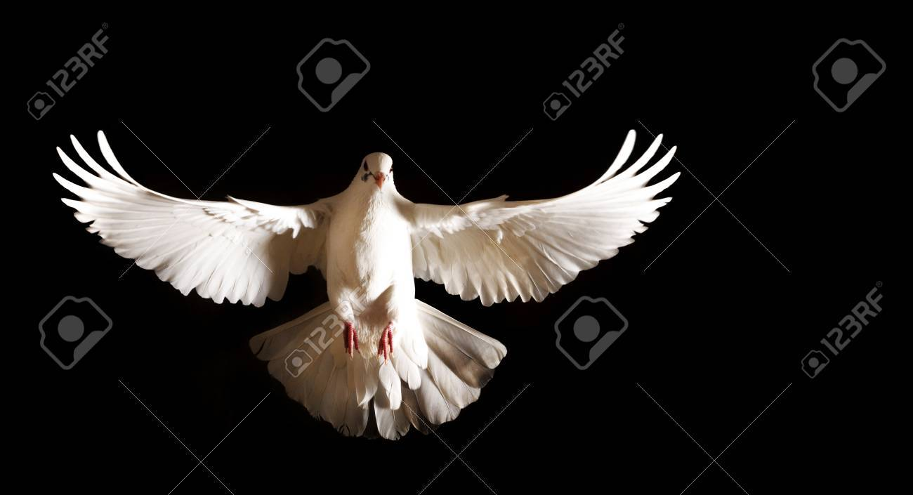 white dove with open wings flies on a black background,postal dove, symbol of peace, isolated object - 68918356