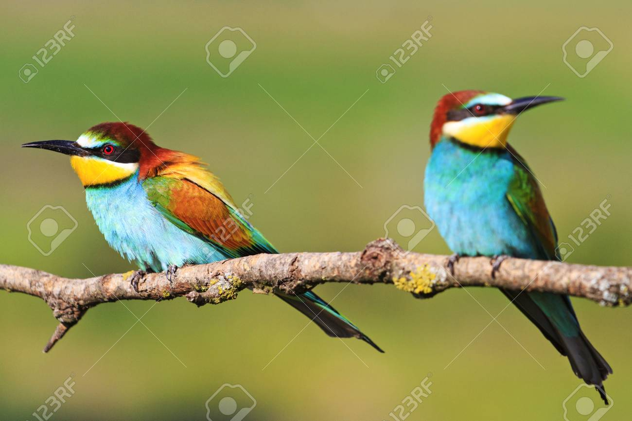 couple colored bird with beautiful feathers sitting on a branch,European bee-eater - 68930455