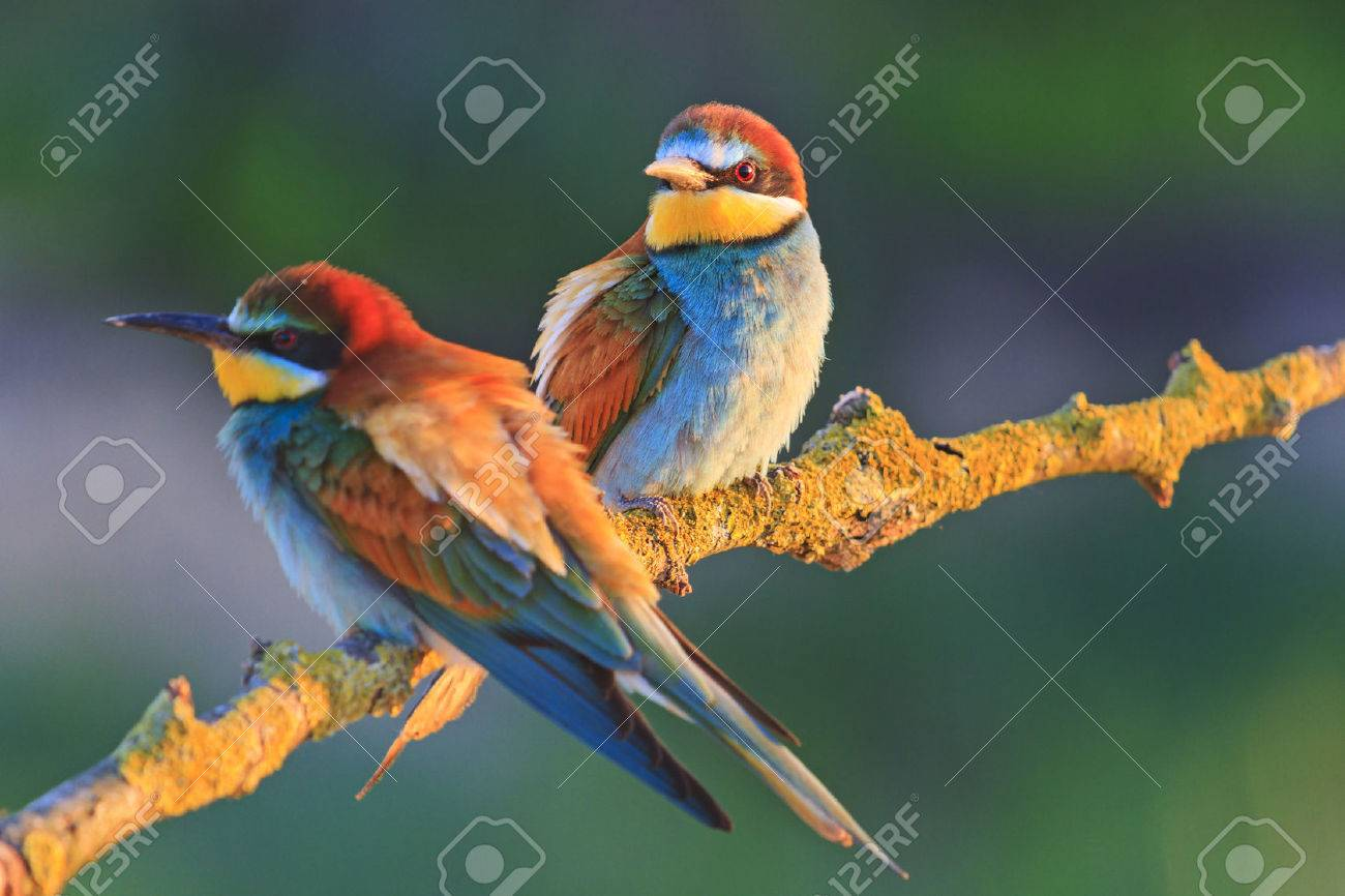 beautiful couple in love birds,colored birds, wildlife, rare animals, bee-eaters - 71830216