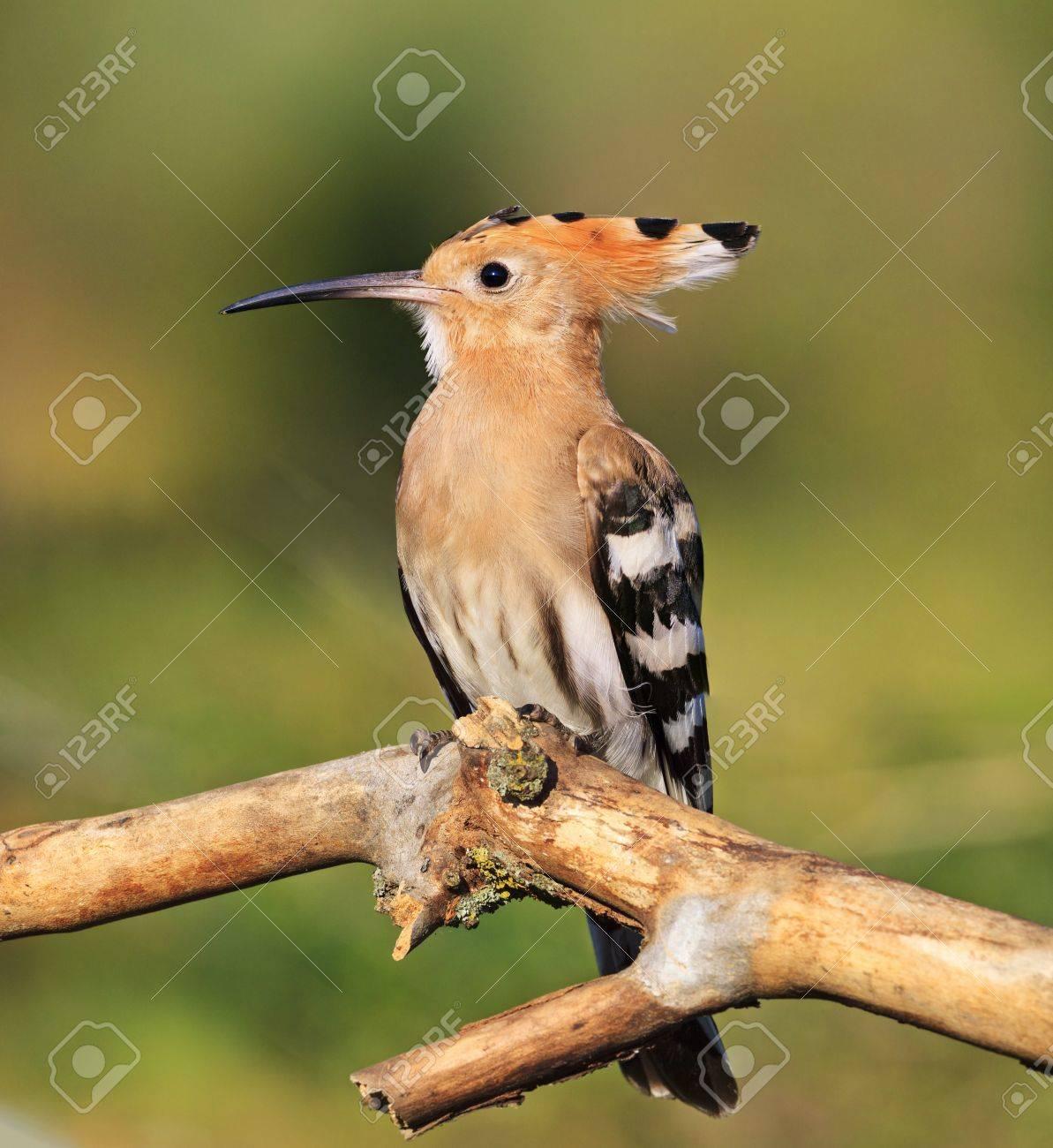Royal Hoopoe Bird Is A Symbol Of Love And Gratitudeexclusive