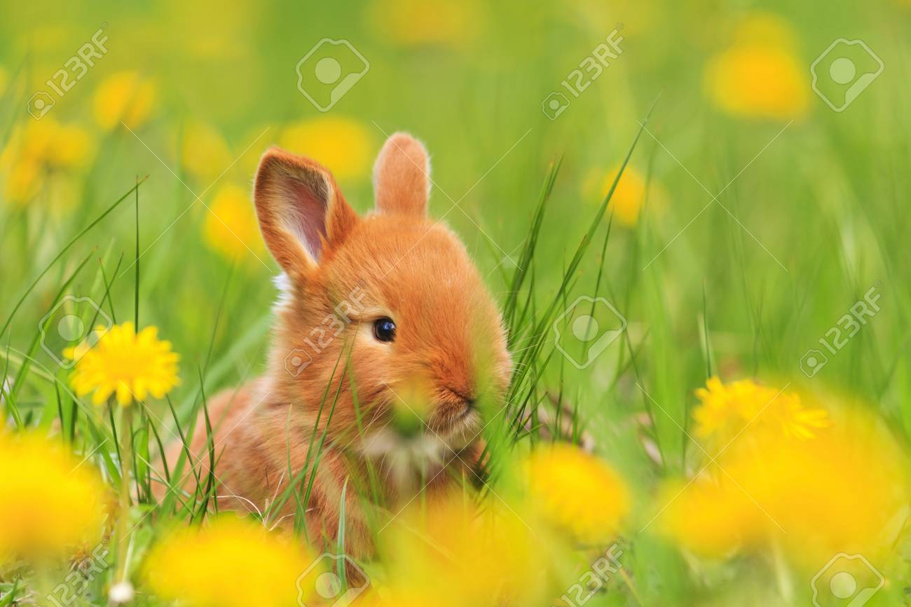 Cute Red Rabbit Yellow Flowers Of Dandelion Pets And Animals Stock