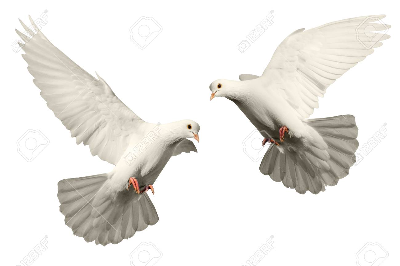 Two Pigeons Flying On A White Background Bird Of Peace Religious