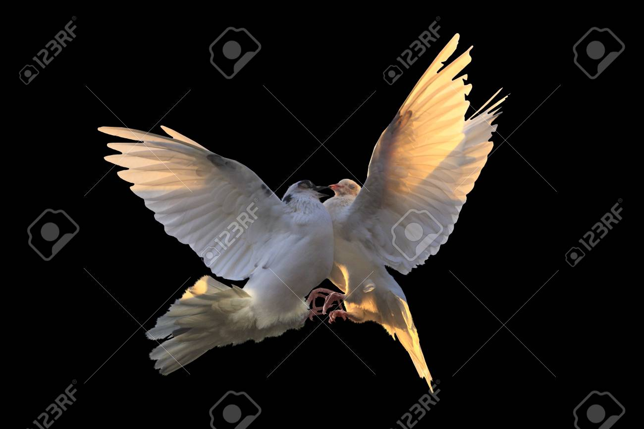 White pigeons are struggling in flight on a black background stock white pigeons are struggling in flight on a black background stock photo 88080836 biocorpaavc Gallery