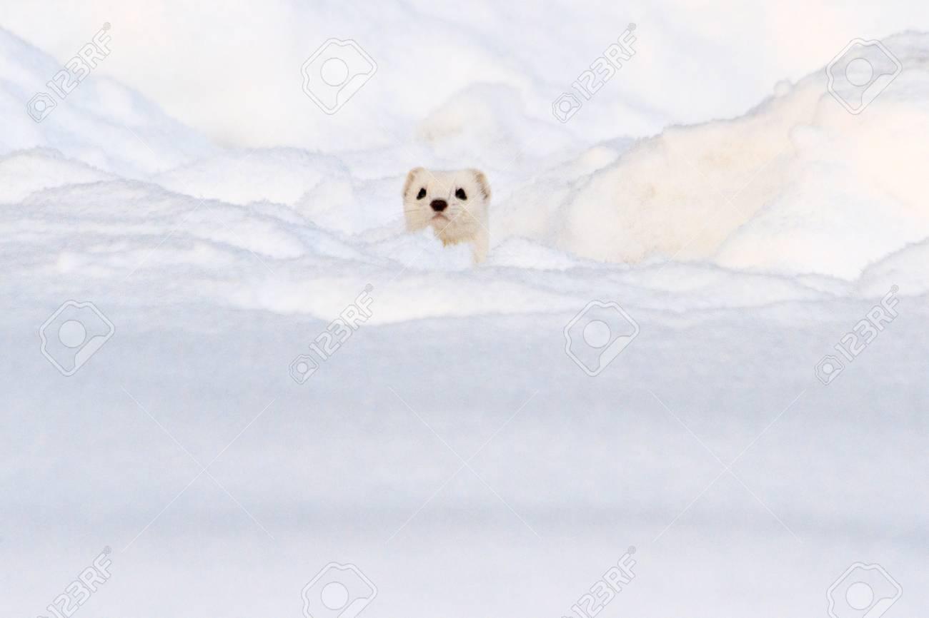 白い雪、冬、動物から白い動物に見える の写真素材・画像素材 Image ...
